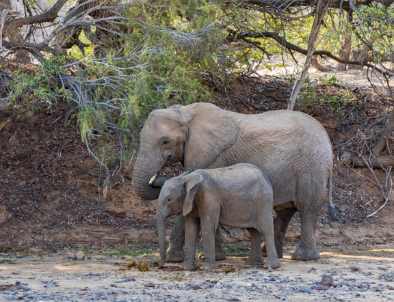 Desert-adapted-elephants-Namibia-2