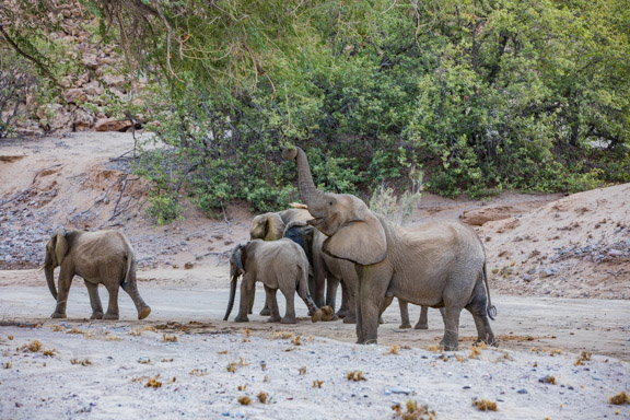 Desert-adapted-elephants-Namibia-3