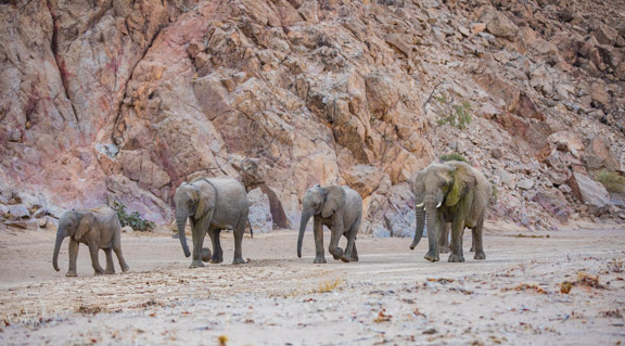 Desert-adapted-elephants-Namibia
