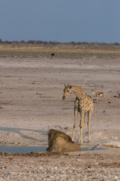 Etosha-national-park-giraffe-drinkiong-waterhole-lion-1
