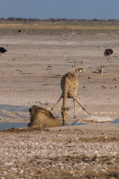 Etosha-national-park-giraffe-drinkiong-waterhole-lion-2
