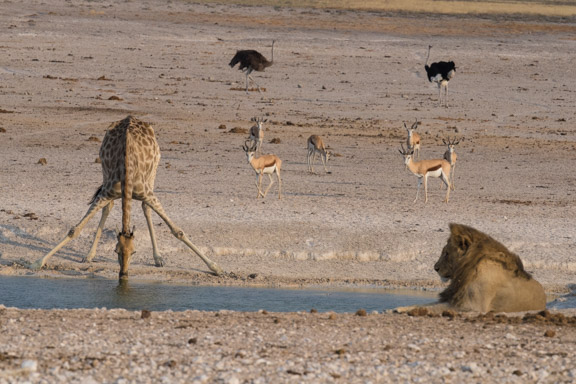 Etosha-national-park-giraffe-drinkiong-waterhole-lion