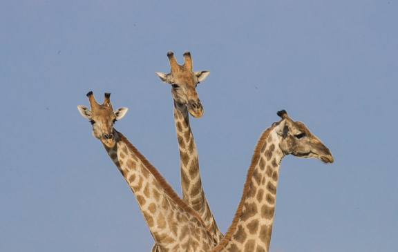 Etosha-national-park-giraffe-heads