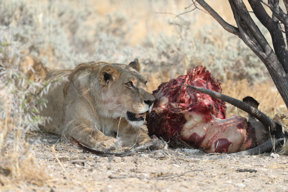 Etosha-national-park-lion-snarling