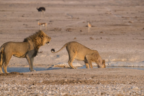 Etosha-national-park-lions-playing-1