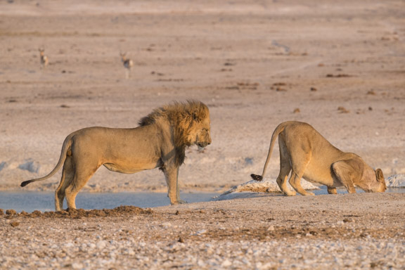 Etosha-national-park-lions-playing-2