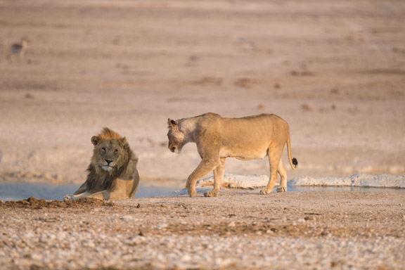 Etosha-national-park-lions-playing-3