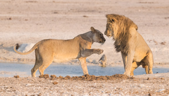Etosha-national-park-lions-playing