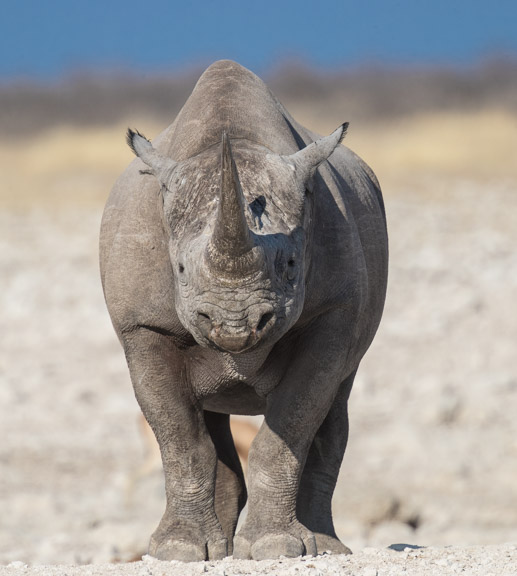 Etosha-national-park-rhino-face-1