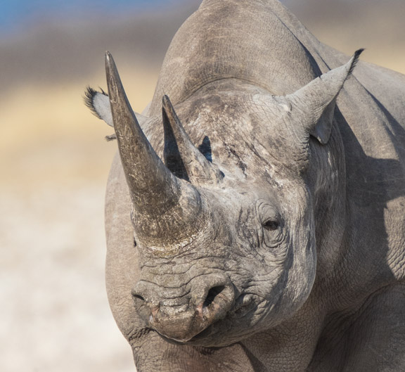 Etosha-national-park-rhino-face-close-up