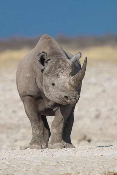 Etosha-national-park-rhino-face