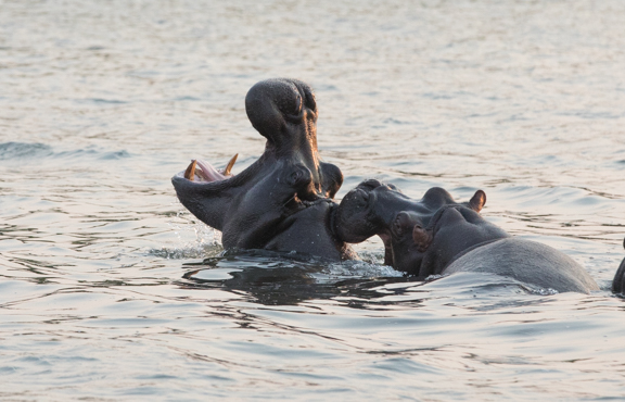 Hippo-mouth-fighting