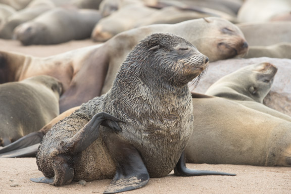 Namibia-skeleton-coast-cape-cross-fur-seals-2
