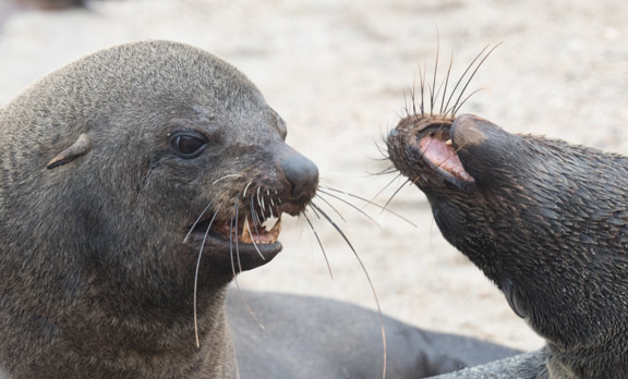 Namibia-skeleton-coast-cape-cross-fur-seals-4