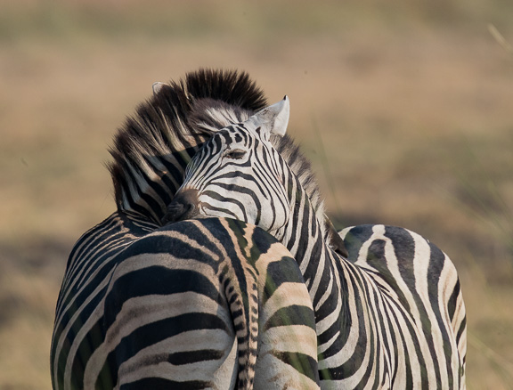 Zebra-fighting-Botswana