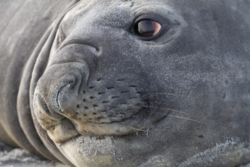 Picture of an Elephant Seal