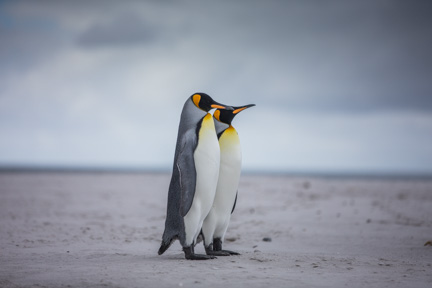 Picture of King Penguins