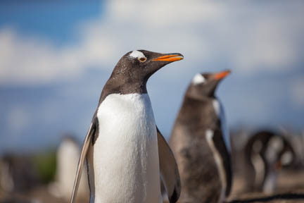 Picture of a Gentoo Penguin