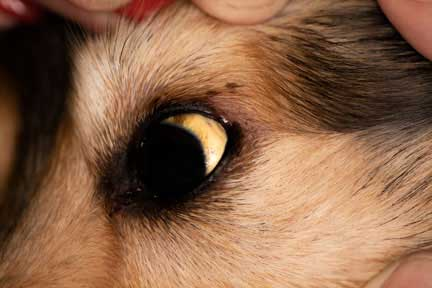 The symptoms of liver disease in animals | Long Beach Animal