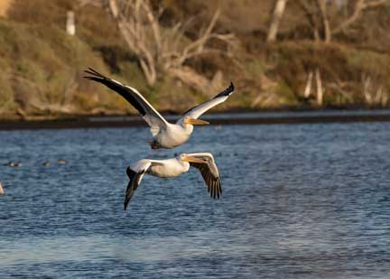 white pelicans flying in a pair