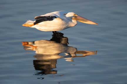 white pelican skimming