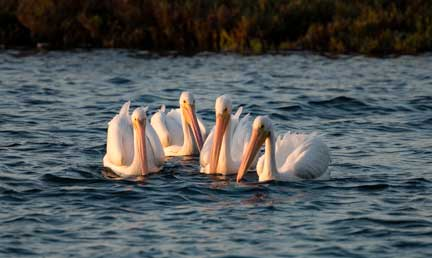 white pelicans swimming