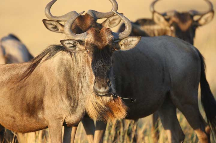 Herding wildebeest blue gnu during migration in Masai mara Kenya and Serengeti National Park Tanzania