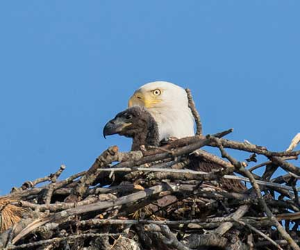 Female eagle with larger chick