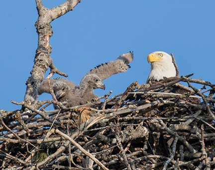Female Eagle with Chicks