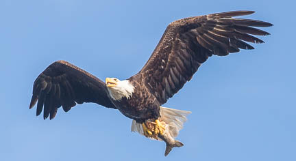 Male eagle with lake trout in talons