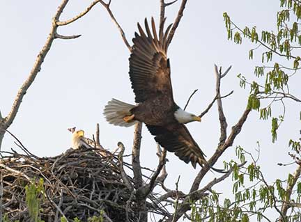 Male Eagle Flying Past Nest