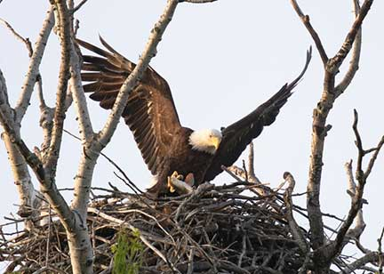 Male Eagle Delivering Fish to Nest