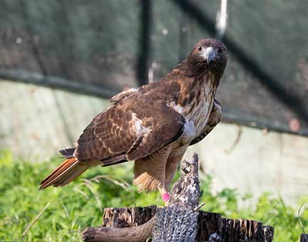 The hawk perching on a stump in its flight cage