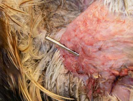 The cut pin protruding out of the skin at the shoulder