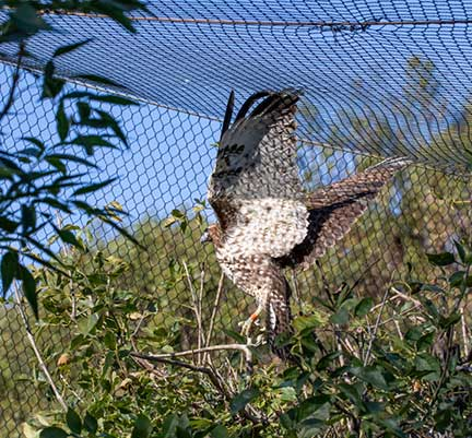 Hawk flying in the flight cage