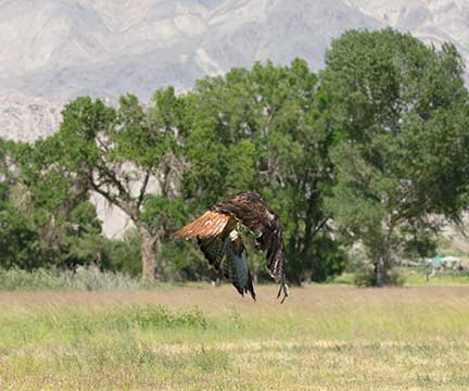 Hawk flying away