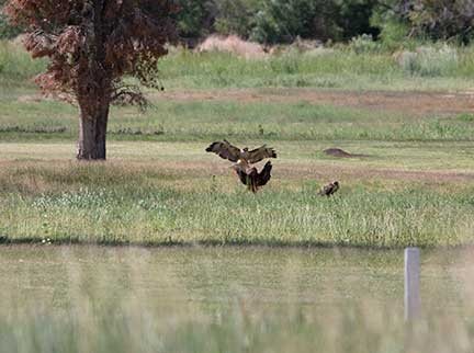 Released hawk interacting with other hawks in the area