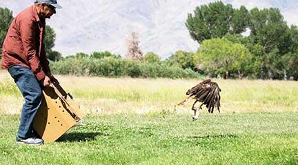 Hawk getting airborne