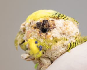 Face of a budgie with severe mange