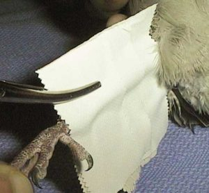 Tightening the tape layers with a hemostat