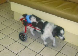 Paralyzed dog in cart