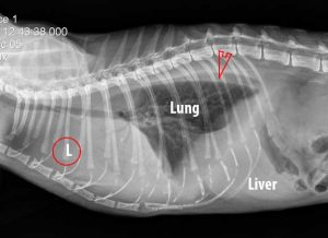 X-Ray of cat with fluid in the thorax