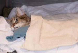 Hypothermic cat in warm blankets
