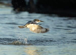 Kingfisher Bursting out of Water