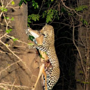 Leopard Climbing Tree at Night