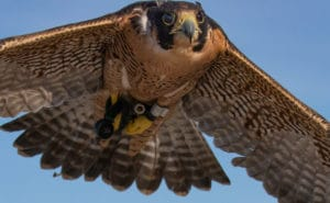 Peregrine Falcon Flying