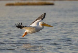 White Pelican Flying