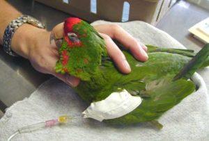 Sick bird being given IV fluids