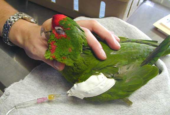 Sick bird being given IV fluids
