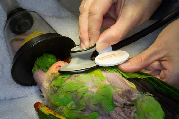 Nurse anesthetist monitoring a bird under anesthesia